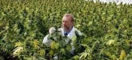 زراعة الماريجوانا